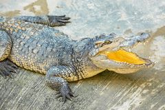 Dangerous crocodile open mouth in farm in Phuket, Thailand. Alligator. In wildlife Royalty Free Stock Photo