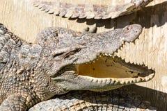 Dangerous crocodile open mouth in farm in Phuket, Thailand. Alligator in wildlife Royalty Free Stock Photo