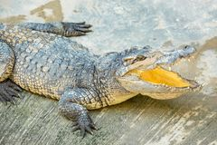 Dangerous crocodile open mouth in farm in Phuket, Thailand. Royalty Free Stock Photos