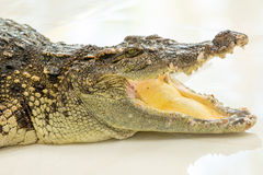 Dangerous crocodile open mouth in farm in Phuket, Thailand. Stock Photos