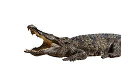 Dangerous crocodile open mouth isolated. With clipping path Stock Photos
