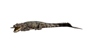Dangerous crocodile open mouth isolated. With clipping path Royalty Free Stock Images