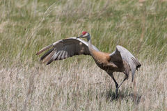 Dangerous Dance!. Sandhill cranes are known for their elegant and energetic courting dance, but they have also integrated graceful and exceedingly aggressive royalty free stock photo