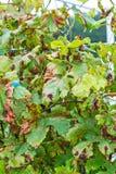 A dangerous disease of grape Mildew - downy mildew  lat. Plasmo Royalty Free Stock Image