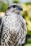 Dangerous falcon Royalty Free Stock Images