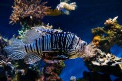 dangerous fish lion Стоковые Фото