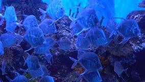 Dangerous fish Selene in search of a victim. Fish slowly swimming in the aquarium. Selene vomer stock video