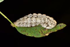 Free Dangerous Flannel Moth Caterpillar On A Leaf. Royalty Free Stock Photos - 142795478