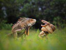 Dangerous friendship of Iguana and the Snake royalty free stock photos