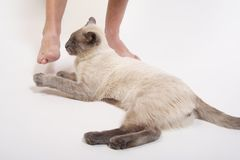 Dangerous Game. A siamese cat attacking his owners feet.  Man's foot and cat's paws frozen in mid-air Stock Photography