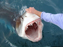 Dangerous Great White Shark. A man missing a finger holds back a great white shark royalty free stock photos