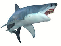 Dangerous Great White Shark. The Great White shark can live for 70 years and grow to be 21 feet long and live in coastal surface waters Stock Images
