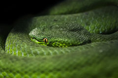 Dangerous green snake. Royalty Free Stock Images
