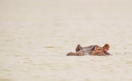 The dangerous Hippopotamus Royalty Free Stock Images