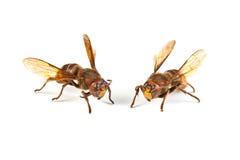 Dangerous hornet Stock Images