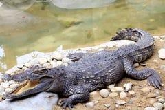 Dangerous huge crocodile. In a zoo Royalty Free Stock Image