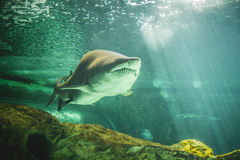 Dangerous and huge shark swimming under sea Royalty Free Stock Images