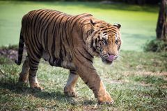 Dangerous hungry Royal bengal tiger. Dangerous hungry or starving Royal bengal tiger in the forest looking at camera while walking close to photographer. People royalty free stock photos