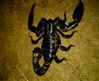 Dangerous Indian pandinus black scorpion close up macro on ground. Dangerous Indian scary giant pandinus black emperor scorpion close up macro on ground hunting stock photos