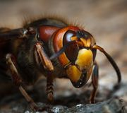 Dangerous insect Royalty Free Stock Image