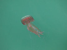 Dangerous jellyfish Royalty Free Stock Images
