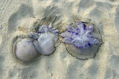 Dangerous jellyfish dead on beach sand Stock Photography
