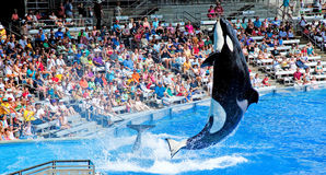 Dangerous killer whale Royalty Free Stock Photography