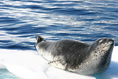 Dangerous leopard seal Royalty Free Stock Images