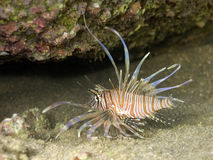 Dangerous Lion Fish Stock Image