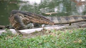 Dangerous lizard predator wild striped varan, varanus salvator, on the ground near pond in national park stock video footage