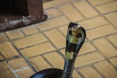 Dangerous monocled cobra snakes come into the house. The monocle Royalty Free Stock Photography