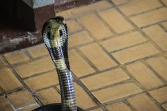 Dangerous monocled cobra snakes come into the house. The monocle Royalty Free Stock Images