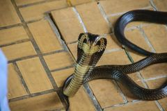 Dangerous monocled cobra snakes come into the house. The monocle Royalty Free Stock Image