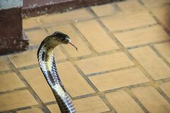 Dangerous monocled cobra snakes come into the house. The monocle Stock Photo