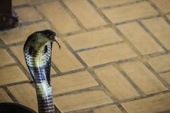 Dangerous monocled cobra snakes come into the house. The monocle Stock Image