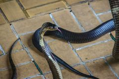 Dangerous monocled cobra snakes come into the house. The monocle Royalty Free Stock Photo