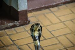 Dangerous monocled cobra snakes come into the house. The monocle Royalty Free Stock Photos