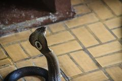 Dangerous monocled cobra snakes come into the house. The monocle. D cobra (Naja kaouthia), also called monocellate cobra, is a cobra species widespread across Stock Photos