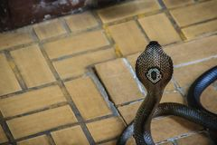Dangerous monocled cobra snakes come into the house. The monocle. D cobra (Naja kaouthia), also called monocellate cobra, is a cobra species widespread across Royalty Free Stock Photos