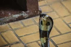Dangerous monocled cobra snakes come into the house. The monocle Stock Photography