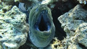 Dangerous murena, moray eel Stock Images