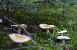 Dangerous mushrooms Royalty Free Stock Photos