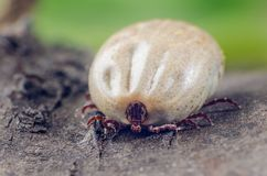 A dangerous parasite and a carrier of infection, a tick full of blood sitting on the bark of a tree.  royalty free stock images