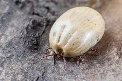 A dangerous parasite and a carrier of infection, a tick full of blood sitting on the bark of a tree.  stock photography