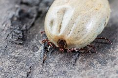 A dangerous parasite and a carrier of infection, a tick full of blood sitting on the bark of a tree.  stock image