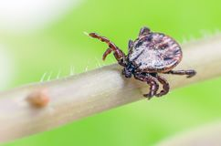 A dangerous parasite and a carrier of mite infection on a branch.  stock photography