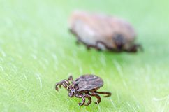 A dangerous parasite and infection carrier mite sitting on a green leaf stock images