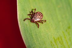 A dangerous parasite and infection carrier mite. A true ixodid mite blood sucking parasite carrying the acarid disease sits on a On a green leaf of grass in the royalty free stock photos