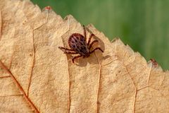 A dangerous parasite and infection carrier mite. A true ixodid mite blood sucking parasite carrying the acarid disease sits on a On a green leaf of grass in the royalty free stock photography
