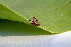 A dangerous parasite and infection carrier mite. A true ixodid mite blood sucking parasite carrying the acarid disease sits on a On a green leaf of grass in the stock photo